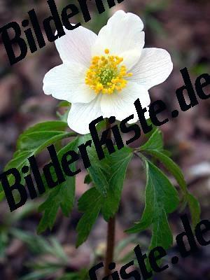Blume Klein