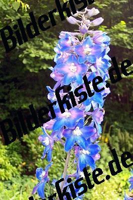 Blueten Rittersporn
