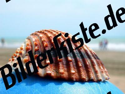 Muschel Herzmuschel (1a)
