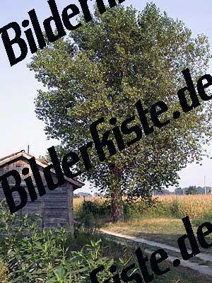 Apfelbaum an Feldweg