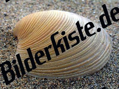 Muschel Islandmuschel