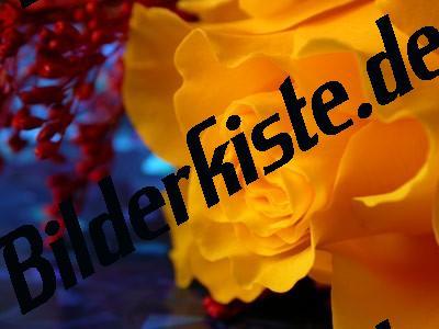 Gelbe Rosenblüte im Detail