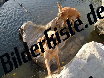 Zwei Golden Retriever spielen am Wasser