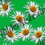 Bilder zum Thema gänseblume anzeigen