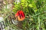 Blossom of corn poppy