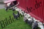Bilder zum Thema chicken anzeigen