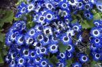 Blumen blaue Blueten