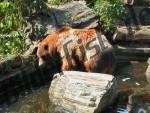 Grizzlybaer im Wasser