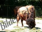 Bilder zum Thema bisons anzeigen