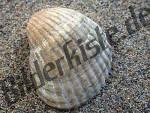 Muschel Herzmuschel (3a)
