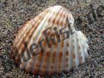 Muschel Herzmuschel (2a)