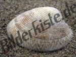Bilder zum Thema piddock clam anzeigen