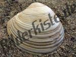 Muschel Venusmuschel