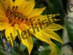 Sonnenblume Wassertropfen