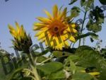 Geöffnete und geschlossene Sonnenblumen