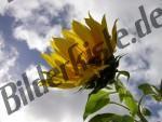 Sonnenblume Wolken