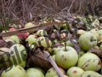 Äpfel am Boden