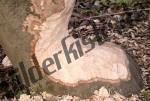 Baum Biberschaden