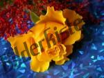 Gelbe Rosenblüte liegt auf blauem Papier