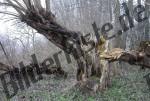 Baum morsch