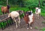 Schafe an der Traenke