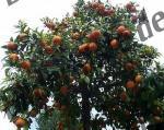 Bilder zum Thema orangenbaum anzeigen