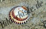 Muschel Herzmuschel (1b)