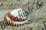 Muschel Herzmuschel (1c)