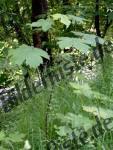 Ahorn-Keimling im Wald