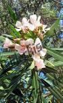 Oleander .