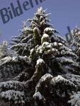 Abete di neve
