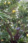 Bilder zum Thema zitronenbaum anzeigen