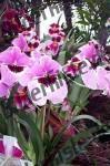 Blumen rosa Blueten