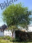 Bilder zum Thema weidenbaum anzeigen