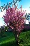 Mandelbaum- Bluete
